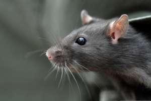 """Sale a la luz la verdad detrás de la """"rata gigante"""" encontrada en el drenaje de la CDMX"""