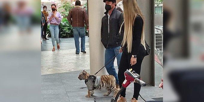 Mujer pasea con un cachcorro de tigre de bengala.