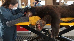 Desgarradoras imágenes de dos osos y un león de montaña heridos por los incendios de California