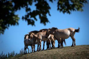 Zoológico de San Diego clona con éxito a un caballo asiático en peligro de extinción