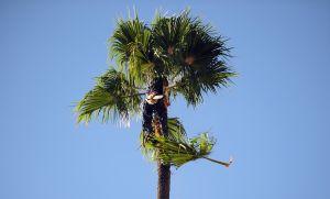 Una palmera se llevó al podador a un paseo salvaje por encima del suelo