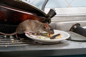 ¿Hay ratas y ratones en tu casa? Elimínalos usando estos productos