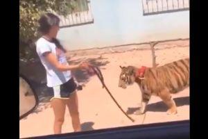 VIDEO: Niña pasea a un tigre de Bengala en Guasave, Sinaloa como su fuera su perro