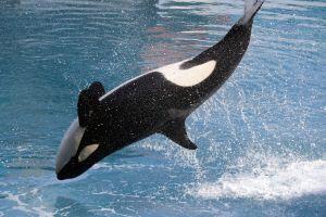 Los extraños ataques de orcas a barcos en el Atlántico que los científicos no logran explicar