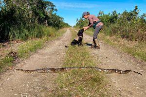 Los perros cazadores de pitones birmanas triunfan en Florida