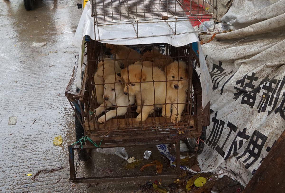 VIDEO: Carne de perros y gatos sigue vendiéndose en China a pesar de prohibición