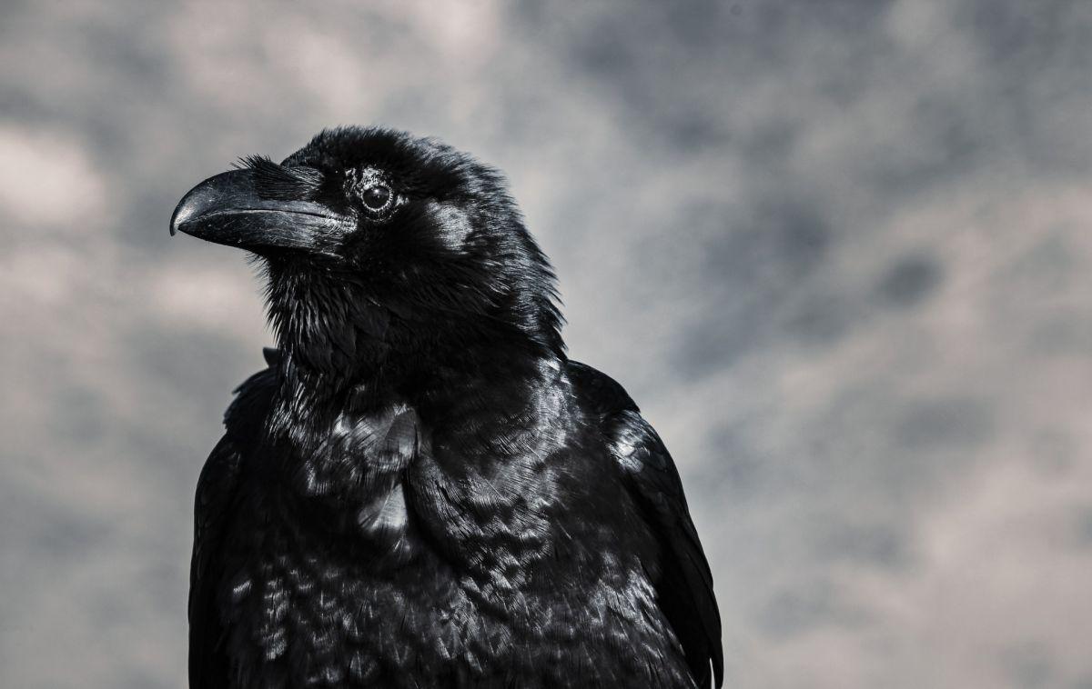 ¿El cuervo es un ave de mal agüero? Conoce su significado espiritual