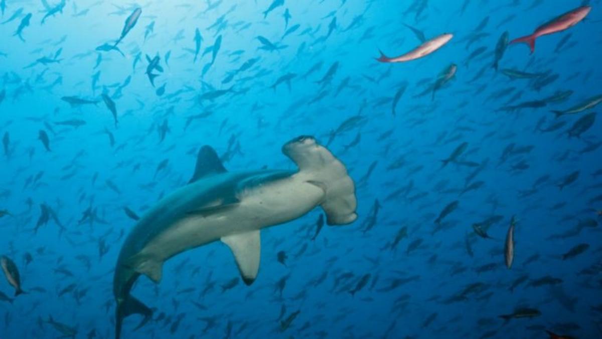 La dramática desaparición de tiburones y rayas que los pone en camino de la extinción