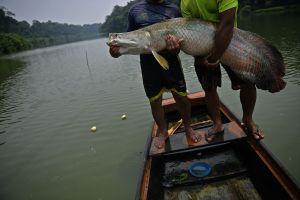Nueva especie invasora apareció en Florida: un monstruo de pez de río de 10 pies de largo