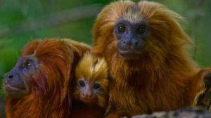 Vacunar a los monos: la sorprendente estrategia para detener una posible pandemia en Sudamérica