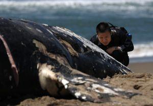 Cuatro ballenas grises aparecen muertas en el área de San Francisco y los expertos se preocupan