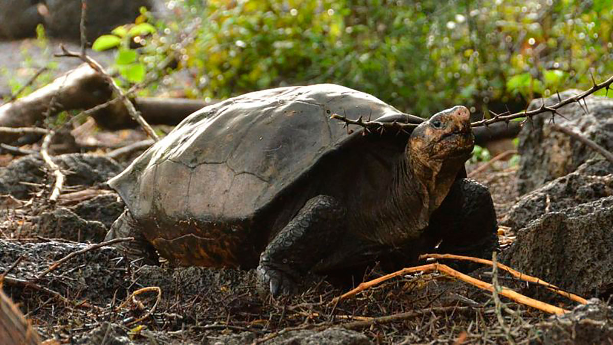 La tortuga gigante hallada en la isla Fernandina. La gran prioridad para los científicos es hallar otros ejemplares en el mismo sitio para iniciar cuanto antes un programa de reproducción en cautiverio.