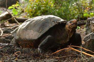 El sorprendente hallazgo en Galápagos de una tortuga que se creía extinguida desde hace más de 100 años