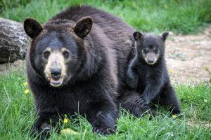 Mujer de Colorado tiene fatídico encuentro con un oso negro mientras caminaba a sus perros