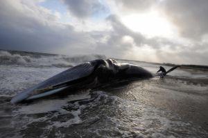 Gigantesca ballena de 115,000 libras aparece muerta en playa del sur de California