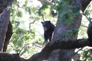 Videos sorprendentes capturan a un oso paseando por un vecindario del norte de California