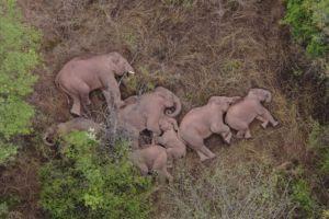 La extraordinaria imagen del descanso de la manada de elefantes que ha viajado 500 kilómetros por China