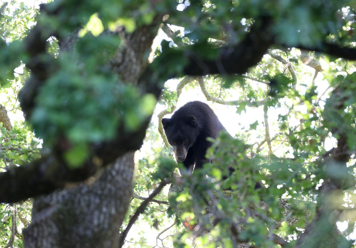 No es extraño ver osos negros en la comunidad donde vive Hailey y su familia.