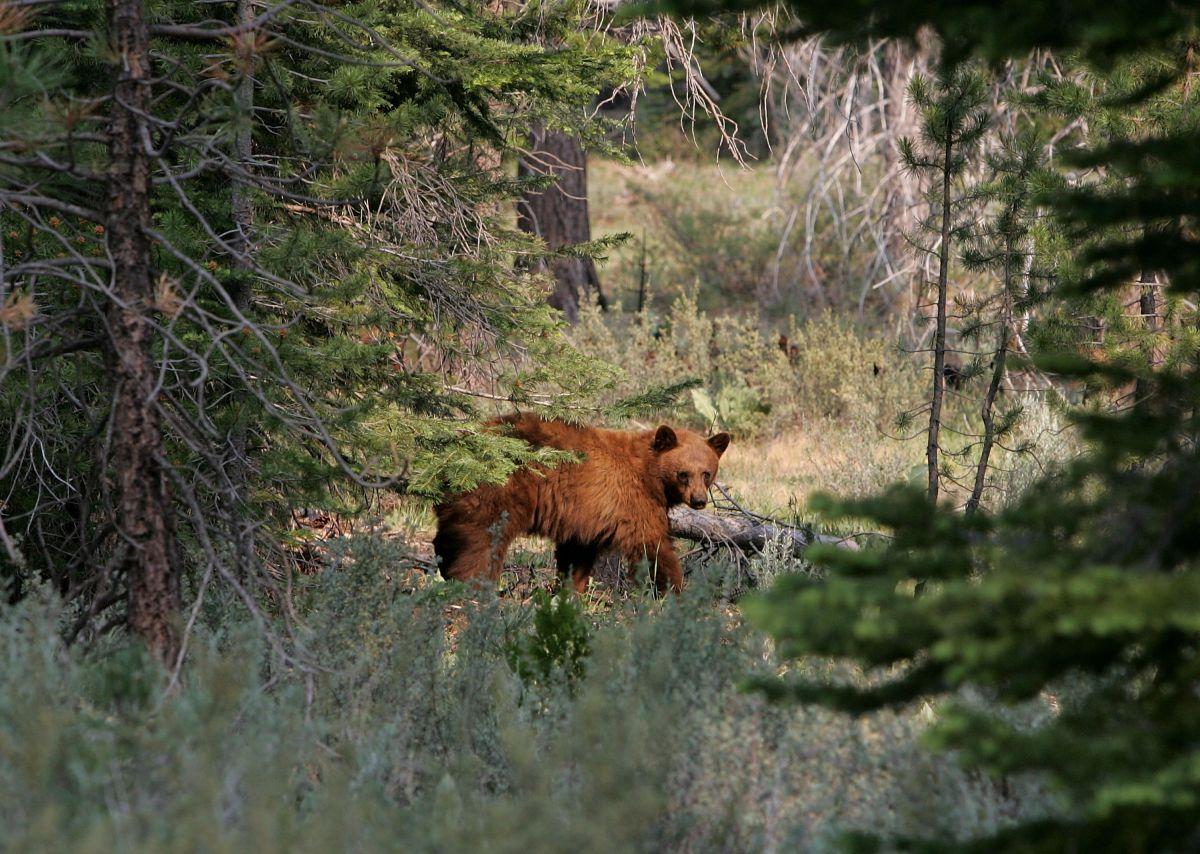 El oso que empujó la adolescente estaba en el muro del patio trasero de la familia.
