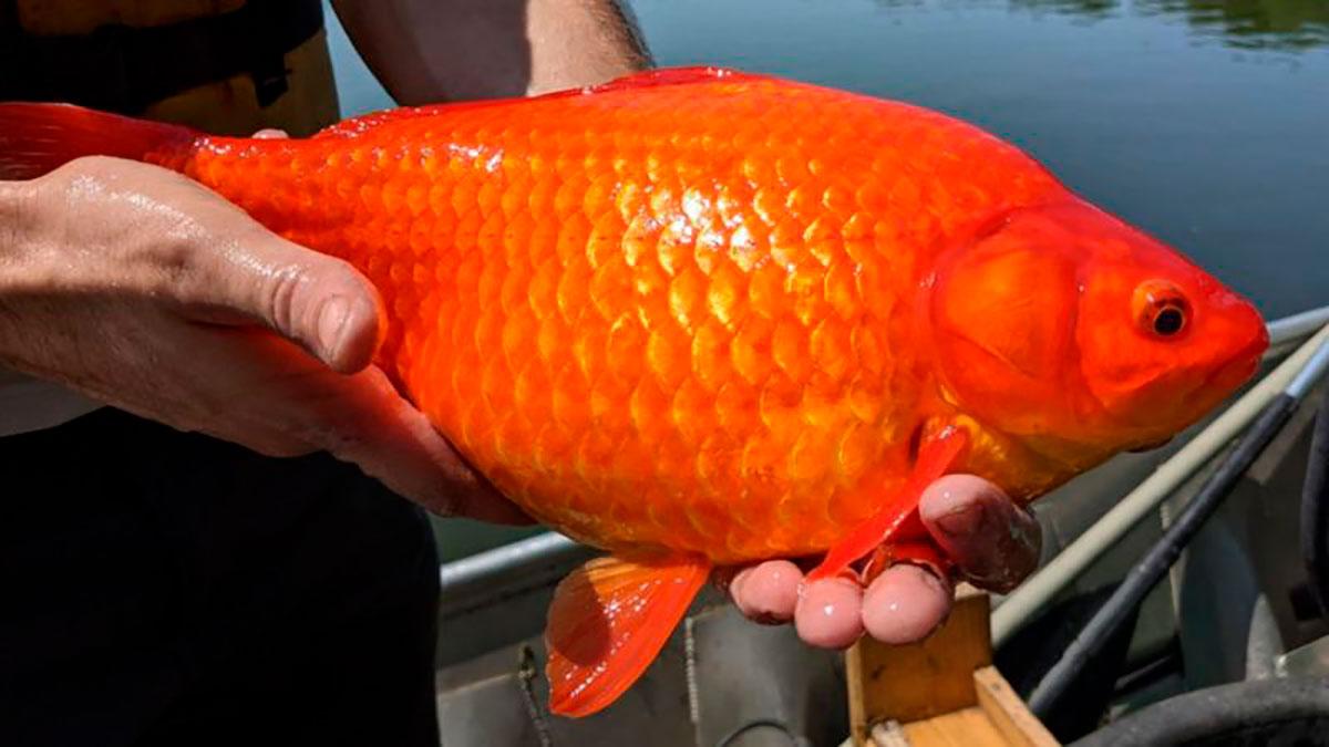 Las autoridades de Minesota, en EE.UU., han hecho un llamado a los ciudadanos para que no liberen a estos peces -considerados una especie invasora- en los lagos y ríos del estado.