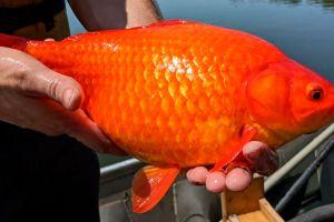 """Cómo los populares peces dorados se están convirtiendo en """"monstruos"""" en lagos y ríos de todo el mundo"""