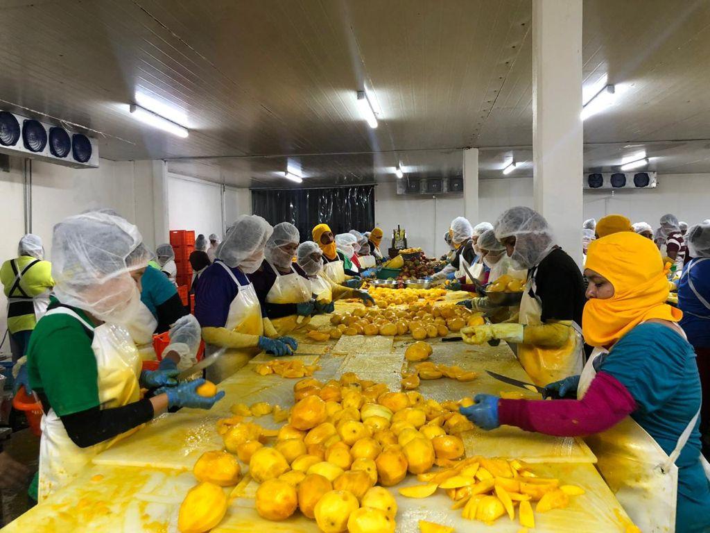 Productores de mango para la exportación