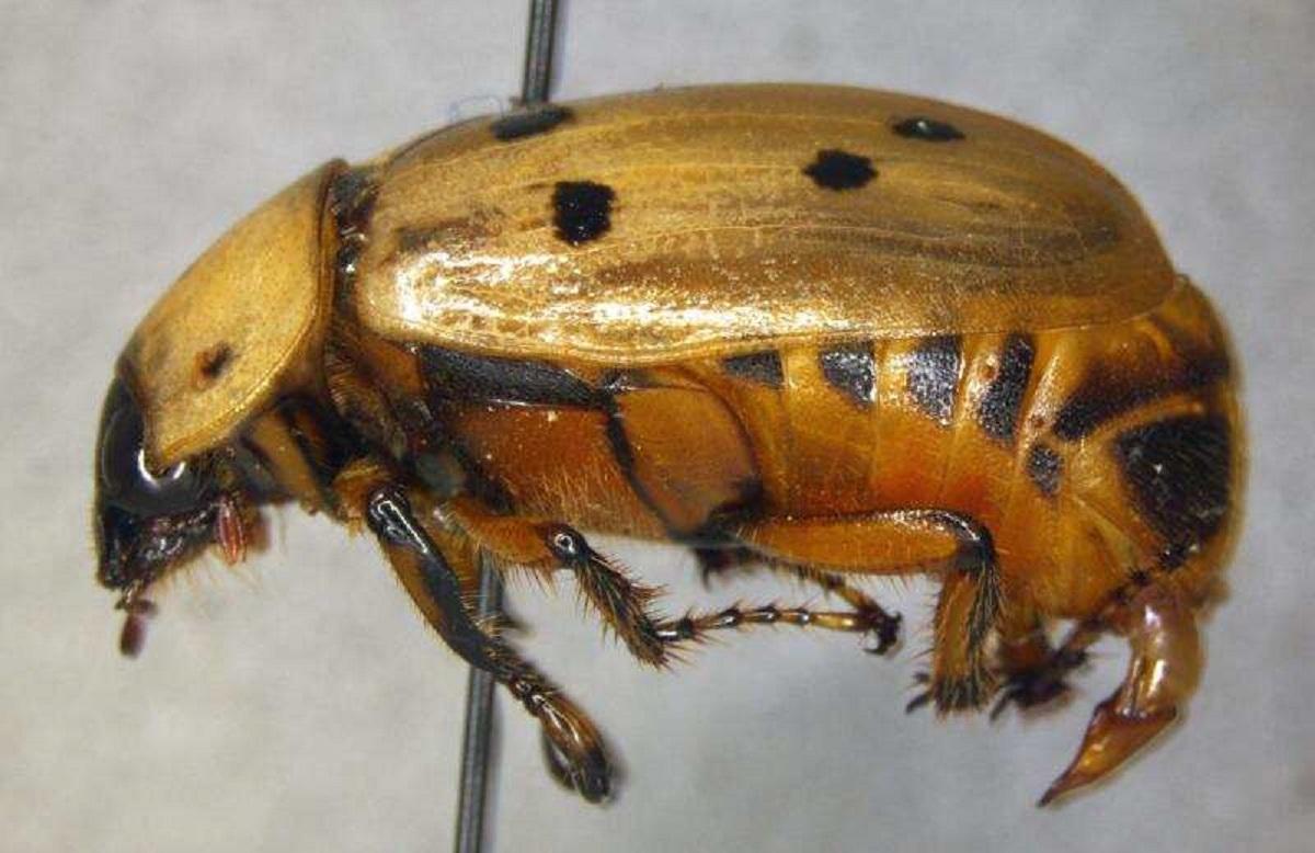 Los expertos en agricultura indican que el escarabajo representa un peligro para la agricultura.