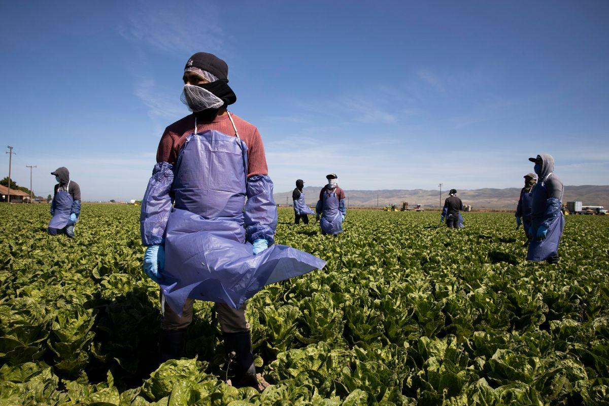 El 49% de los trabajadores agrícolas son indocumentados.