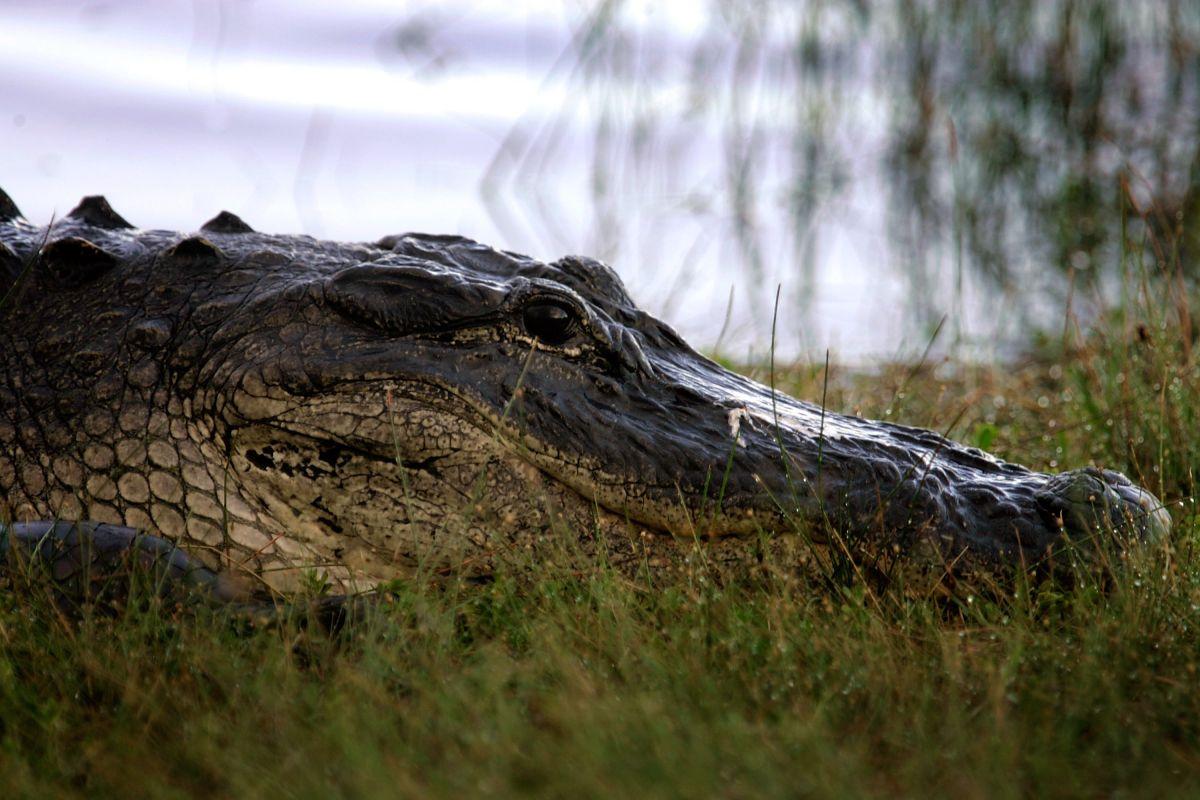 Mediante una trampa capturaron a un caimán de 228.5 kilogramos.
