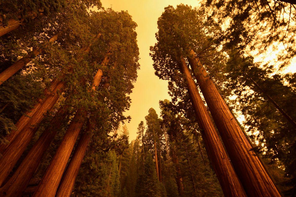 El humo de los incendios envuelve el medio ambiente del bosque de las secuoyas gigantes.