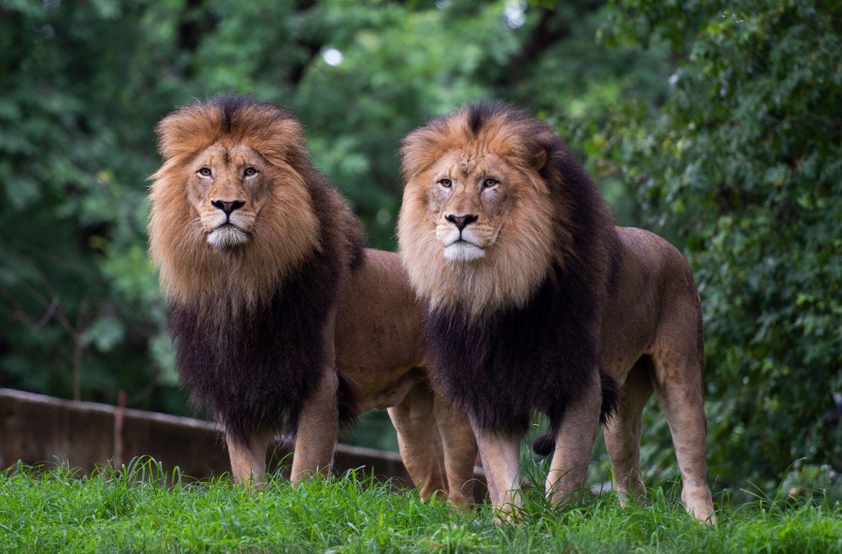 Seis leones africanos resultaron positivos de COVID-19 en el Zoológico Smithsonian National.