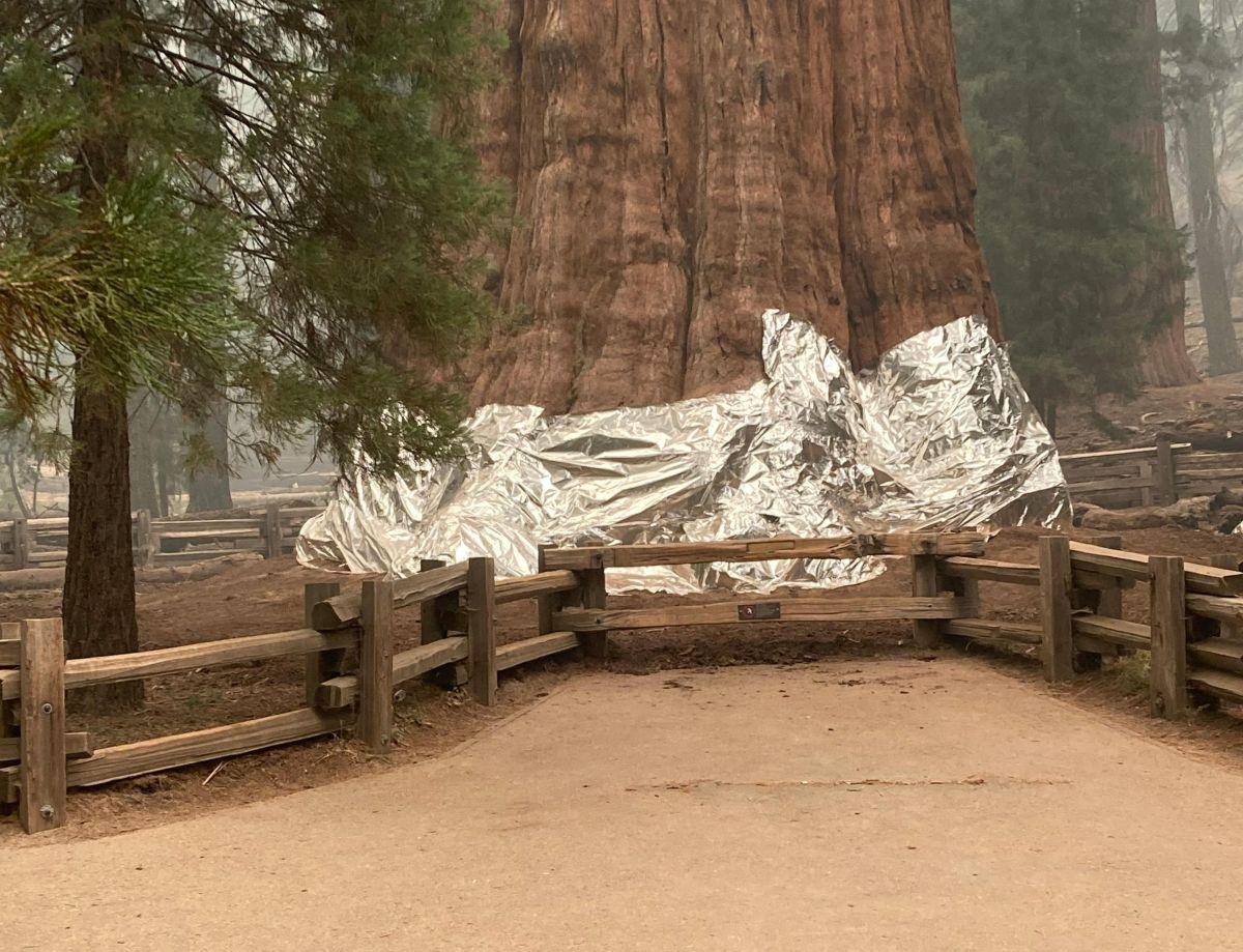 La colosal secuoya General Sherman en el Bosque Gigante está envuelta para protegerla del fuego.