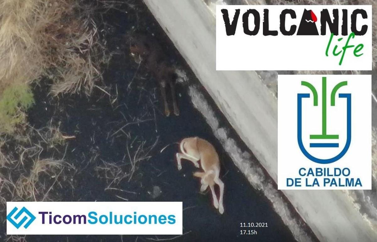 Varias empresas se han comunicado con Ticom Soluciones y Volcanic Life para coordinar el rescate de los animales.